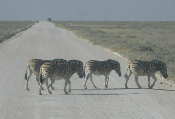 Zebra-crossing-1